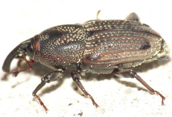 Bill bug